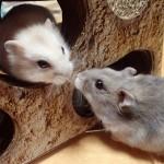 ラットとマウス、モルモットの違いは大きさ!?実験の目的も違う?