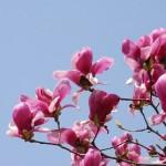 モクレンとコブシの違い!開花時期や花で区別できる?見分け方は?